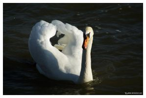 swan.. by Ythor