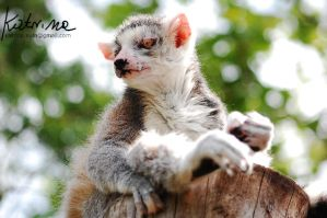 Albino talied lemur by KatrinaSwinnley