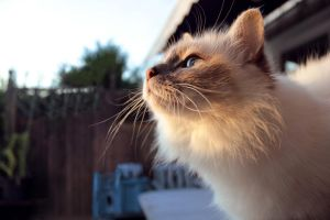 Cat looking in to the sunset. by Patan77xD