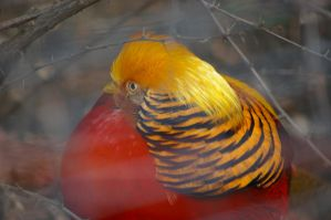 Golden pheasant 12 by Silver-she-wolf-14
