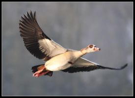 egyptian goose by 21711