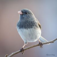 .:Junco Portrait:. by RHCheng