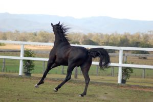 GE arab black canter side behind head facing away by Chunga-Stock