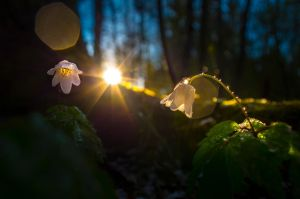 Windflowers Evening by sulevlange