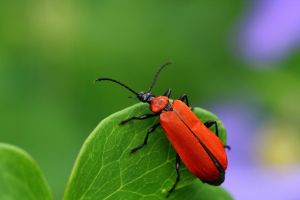 Beetle on a leaf by mkuegler