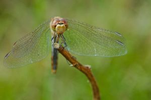One of the darters by andabata