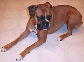 Boxer Dog Breed Sandra Dee 2 by FantasyStock