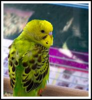 Parakeet by phantaz