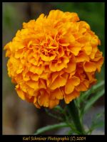 Orange Marigold by KSPhotographic