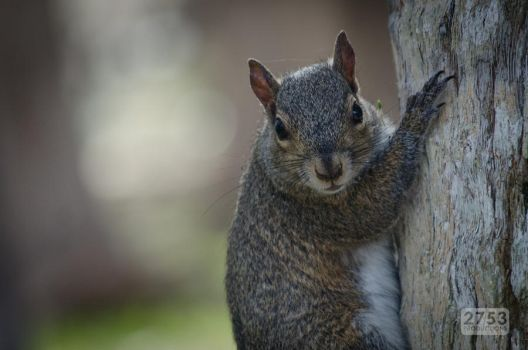 Eastern Gray Squirrel by 2753Productions