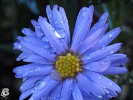 Flower with Raindrops by IndianRain