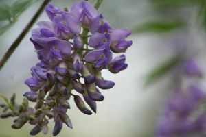 wisteria.and.wishes.2. by Dellessanna