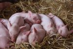 Piglets by socalledgoth