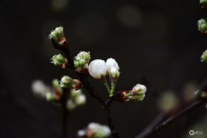 drops on future blooms by Philatx