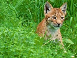 lynx baby by cheshirecat84