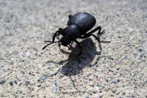 Beetle by JessyFTW