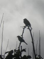 sparrows silhouette by Lott-photo