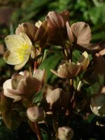 Lenten Rose Stock 14 by botanystock
