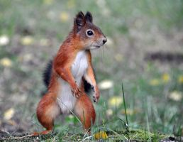 Ninja Squirrel by Dvemor