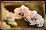 orchids take a curtain call by ashapiro515