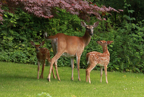 Fawns by morphinetears36
