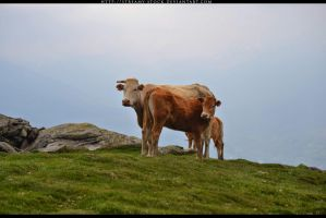 cow - streamy stock by streamy-stock