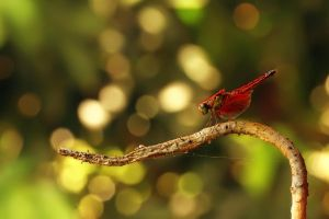 DragonFly n Bokeh by robertfly
