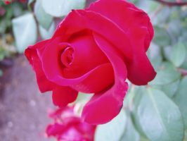 .stock: red rose bud. by guavon-stock