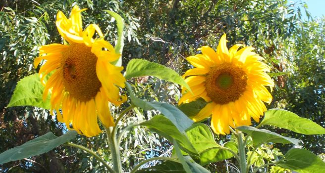 Two Sunflowers Two Bees by one-tough-one