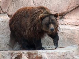 Brown Bear Stock3 by Gnewi-Stock