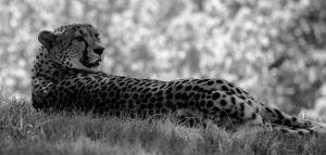 Cheetah Girl by durmonkee