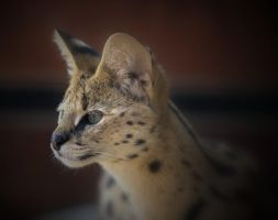 Serval II by Lilia73