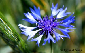 Kornblume / Bluebottle by bluesgrass