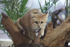 Stalking sand cat by Tygrik
