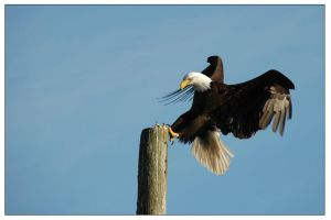 A Bald Eagle in Seldovia, AK by rotyoung