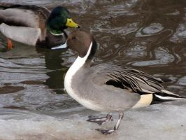 Pintail by Teh-Pandacoon