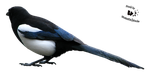 Cut-out stock PNG 71 - attentive magpie by Momotte2stocks