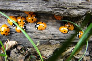 Ladybirds in there hidey hole by Hurakigb