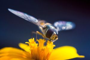 Bokeh Wings (Hoverfly) by Sarahorsomeone