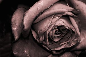 Photograph of a Rose by revolution-man