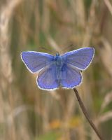 Common Blue by naturelens