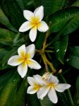 Color Plumeria by teenax