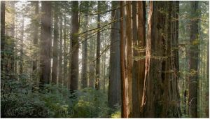The Mighty Redwoods by tourofnature