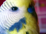 Budgie Close up 2 by DulcisTrado