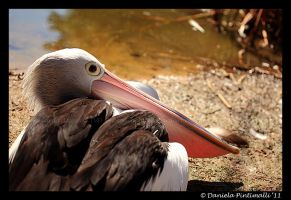 Pelican by TVD-Photography