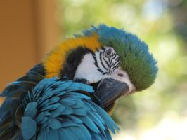 Blue-and-yellow Macaw preening by photographyflower
