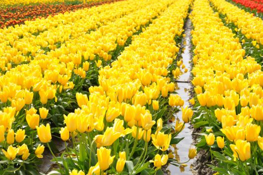 Tulips by staceyluong