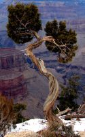 Wind Twisted Pine by Synaptica-stock