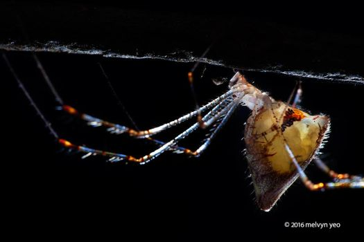 Gravid Comb-footed spider (Meotipa sp.) with eggs by melvynyeo