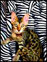 Curry Curry the Bengal cat by MushroomBrain